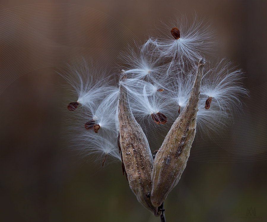 wind blown milkweed.jpg