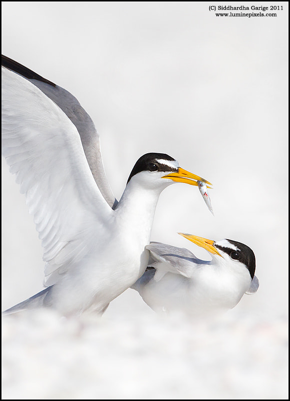 Photograph Least Tern Courtship by Siddhardha Garige on 500px