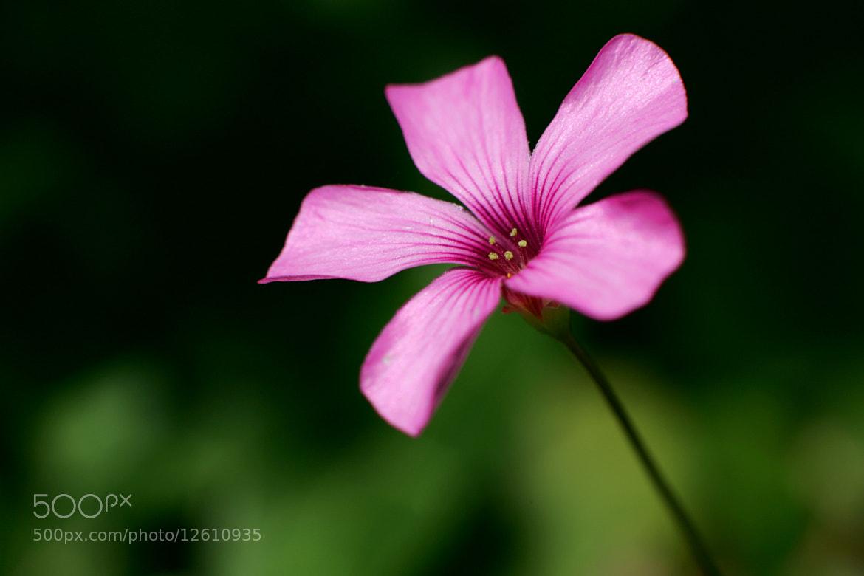Photograph Pink Lady by Nicolas SALVA on 500px