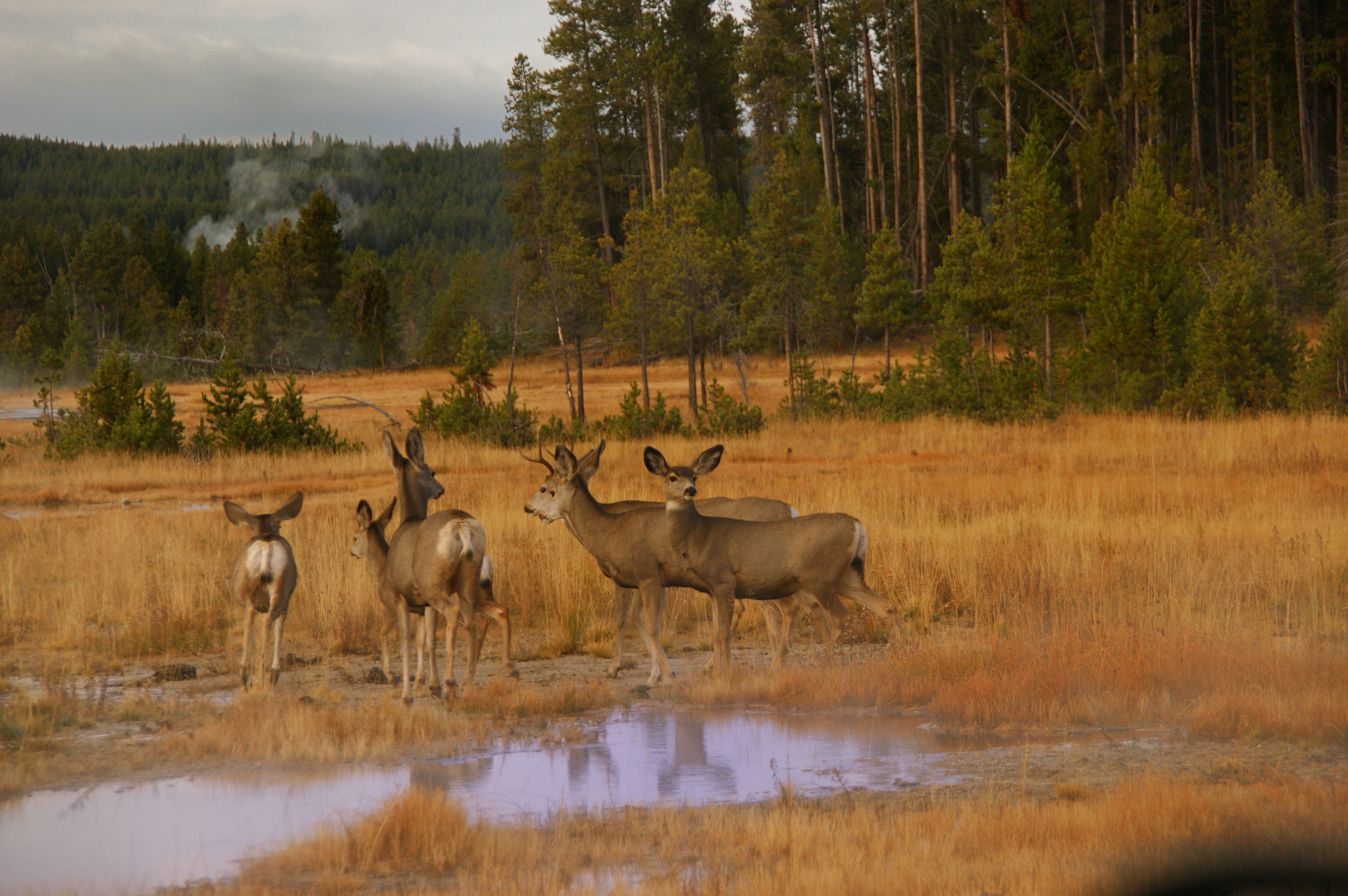 Photograph Yellowstone Deer by Mike Despot on 500px