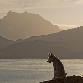Greenland dog by Andrea Deckers (AndreaDeckers)) on 500px.com