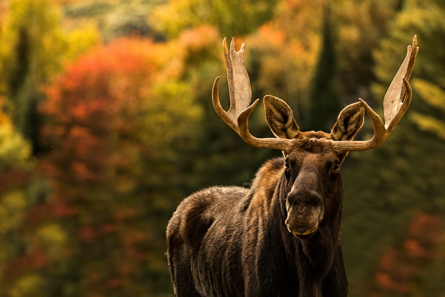Moose ❖ Orignal by Lucie Gagnon on 500px.com