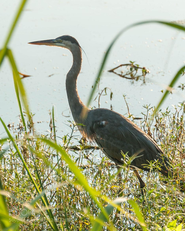 Photograph Great Blue Heron by John Kennington on 500px