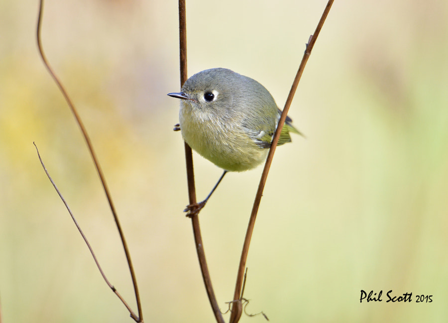 500px.comのphilscott2さんによるRuby-crowned Kinglet