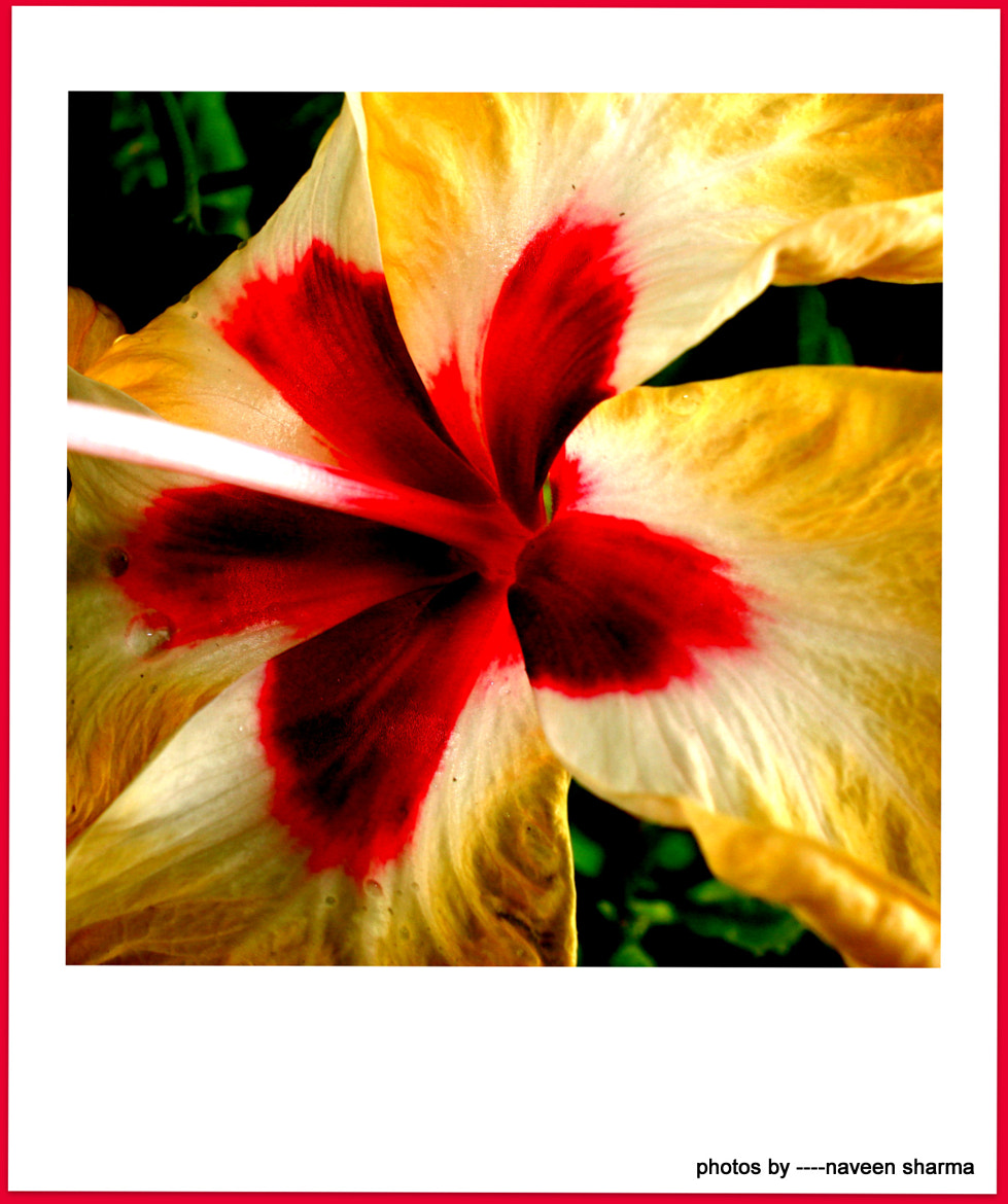 Photograph Nature's colour on hibiscus by naveen sharma on 500px