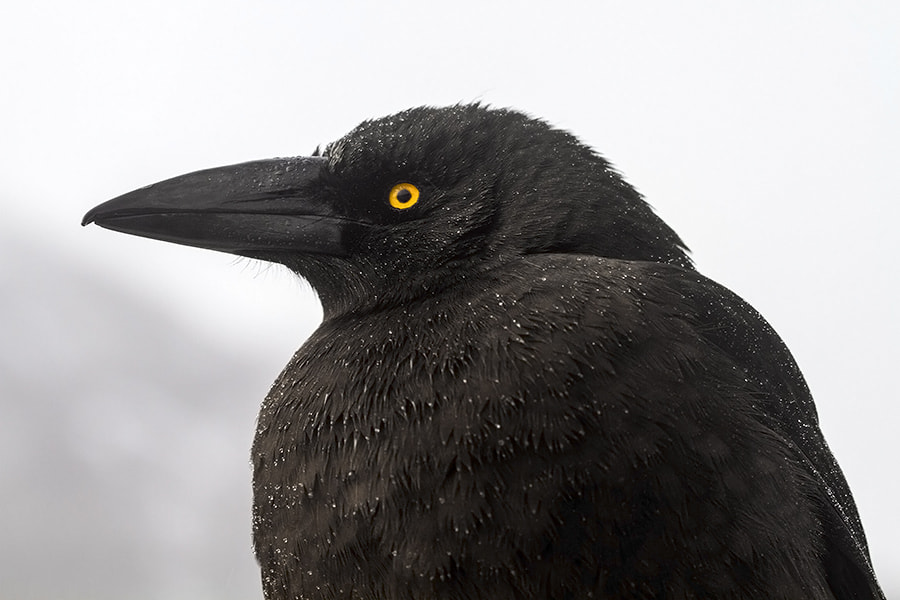 Photograph Currawong by Peter Daalder on 500px