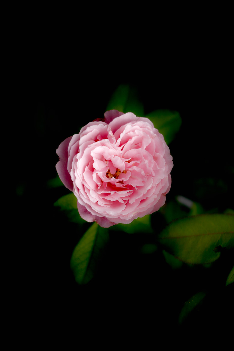 Photograph rose by B K  And on 500px