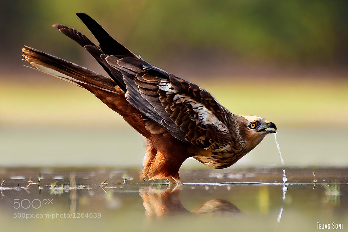 """Photograph """"Marsh Harrier"""" by Tejas Soni on 500px"""