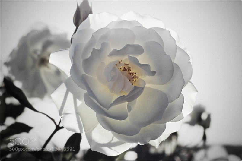 Photograph Rosa Blanca 4 by Mirza Ajanovic on 500px