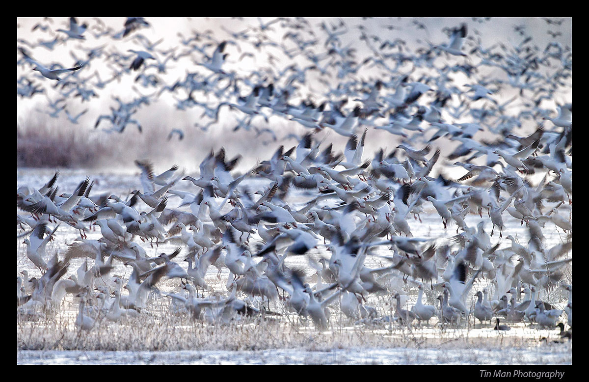 Photograph Snow Geese Blast Off in Morning by Tin Man on 500px