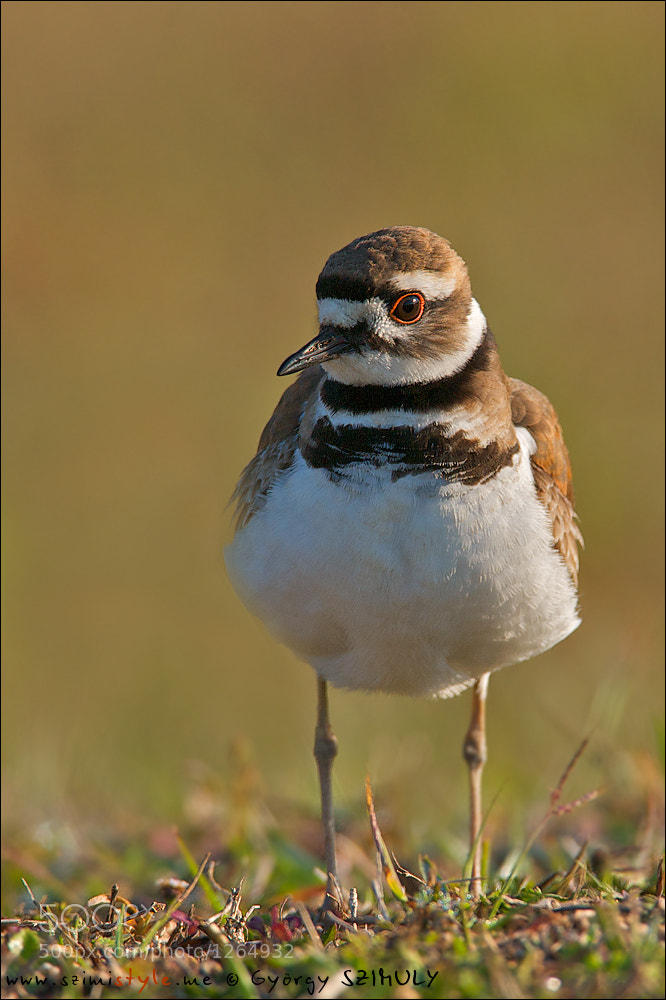 Photograph Killdeer (Charadrius vociferus) by Gyorgy Szimuly on 500px