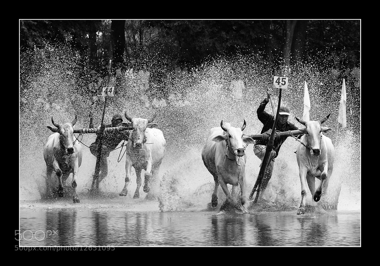 Photograph Cow Racing Festival in An Giang by Lê Nguyễn Luân Vũ on 500px