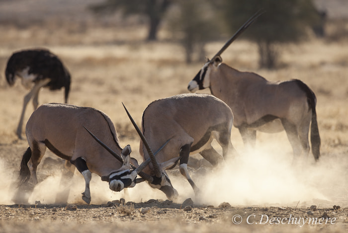 Photograph fighting oryx by Deschuymere Carole on 500px