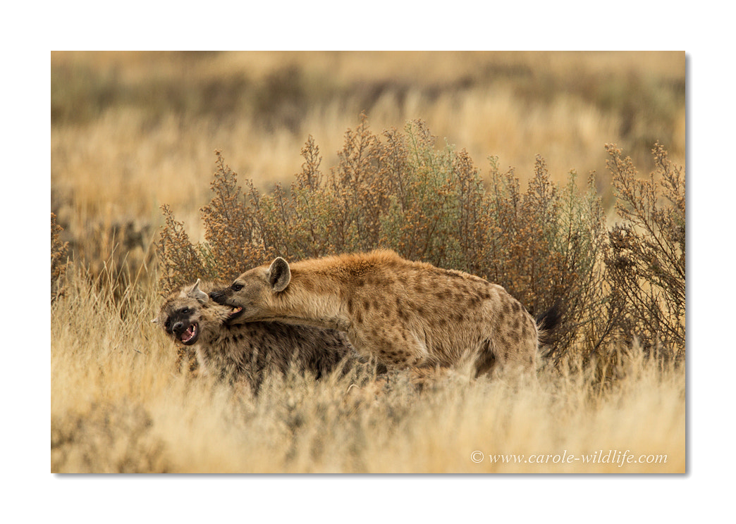 Photograph playing Hyenas by Carole Deschuymere on 500px