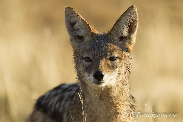 Photograph Black backed Jackal by Deschuymere Carole on 500px
