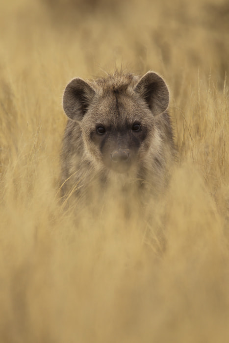 Photograph Hyena youngster by Deschuymere Carole on 500px