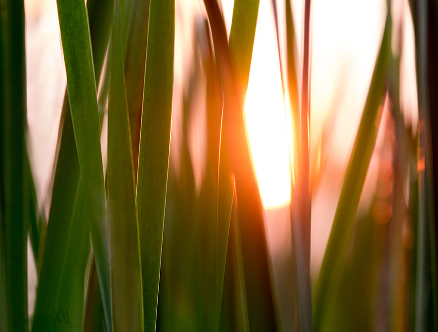 sunset through grasses