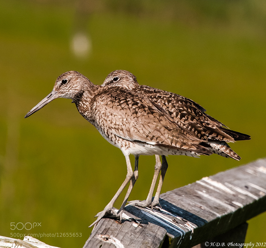 Photograph Two Willets Are Better Than One by Harold Begun on 500px