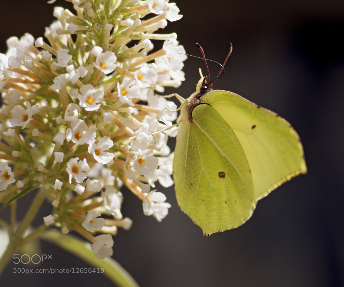 Photograph Brimstone Butterfly (Gonepteryx rhamni) by Sylvia Fresson on 500px