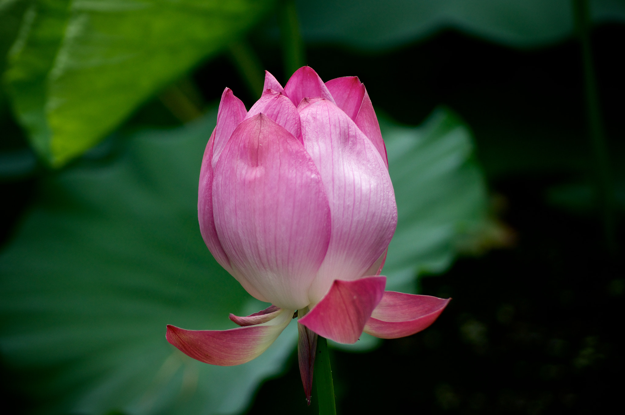 Photograph Jewel of a Lotus by AAAndrew M on 500px