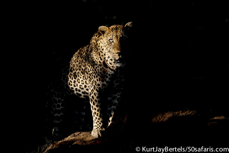 Photograph Leopard in the shadows by Kurt Jay Bertels on 500px