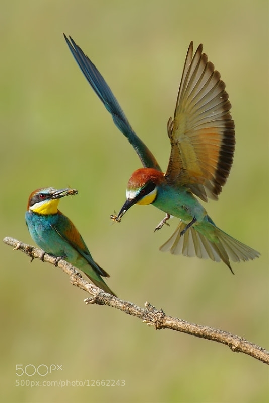 Photograph  Merops apiaster2 by Ivan Kluciar on 500px