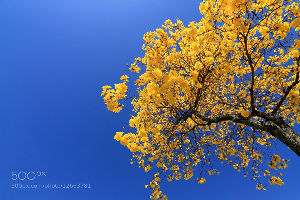 Photograph Tabebuia alba!!!!! by Itamar Campos on 500px