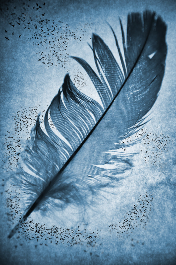 Photograph Feathers by John Fox on 500px