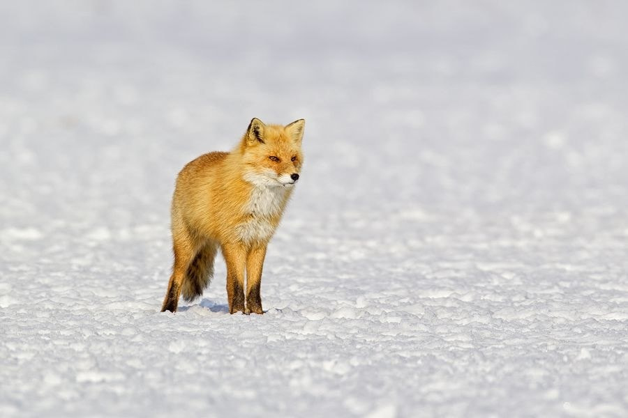 Photograph Red Fox by Peter Edge on 500px