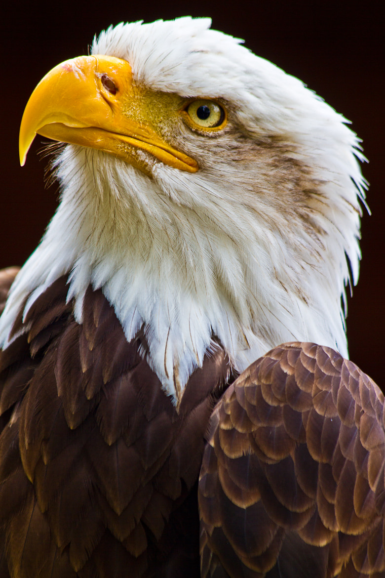 Photograph Eagle by Zoe Wood on 500px
