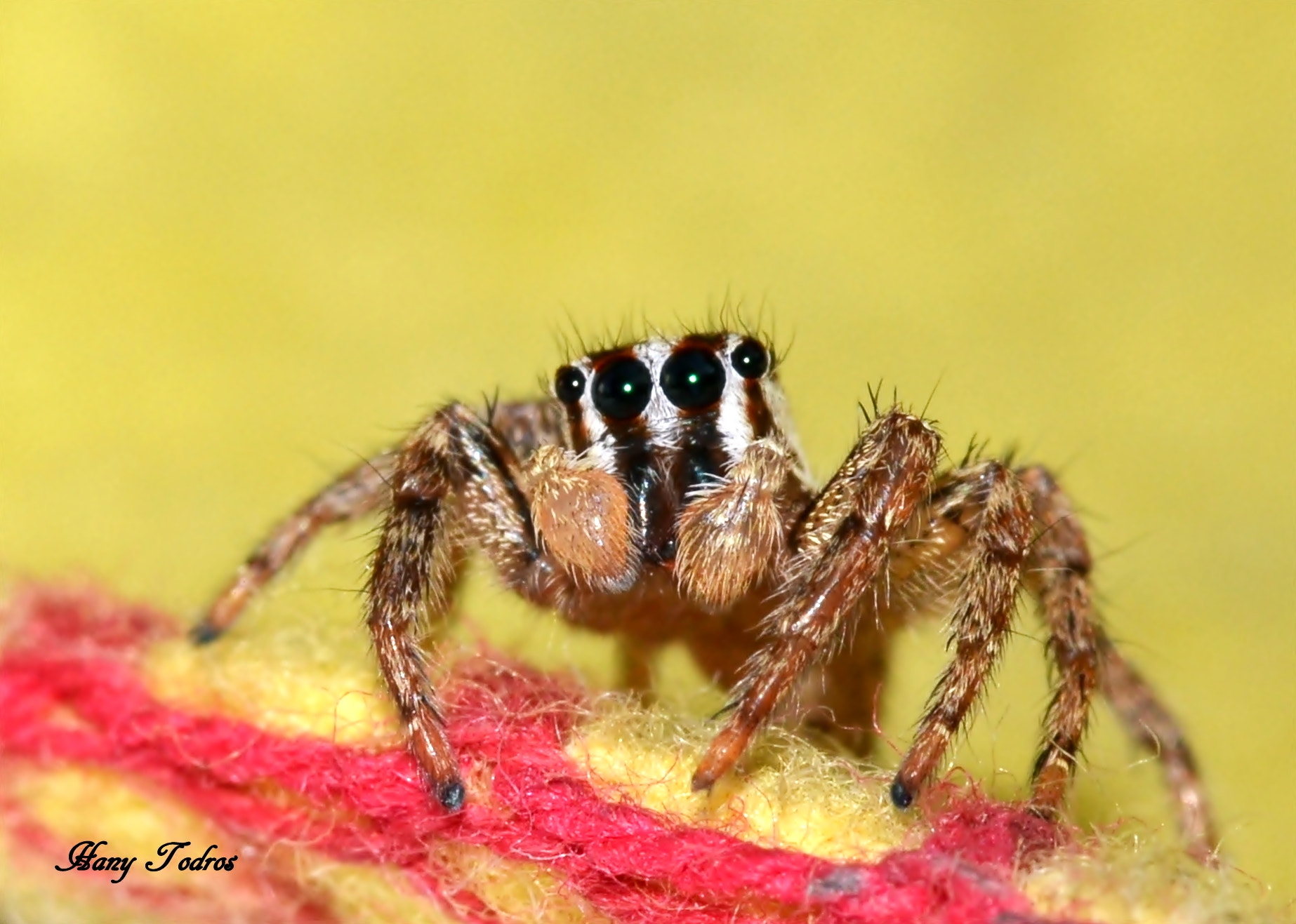 Photograph 0OO0 Jumping Spider by Hany Todros on 500px