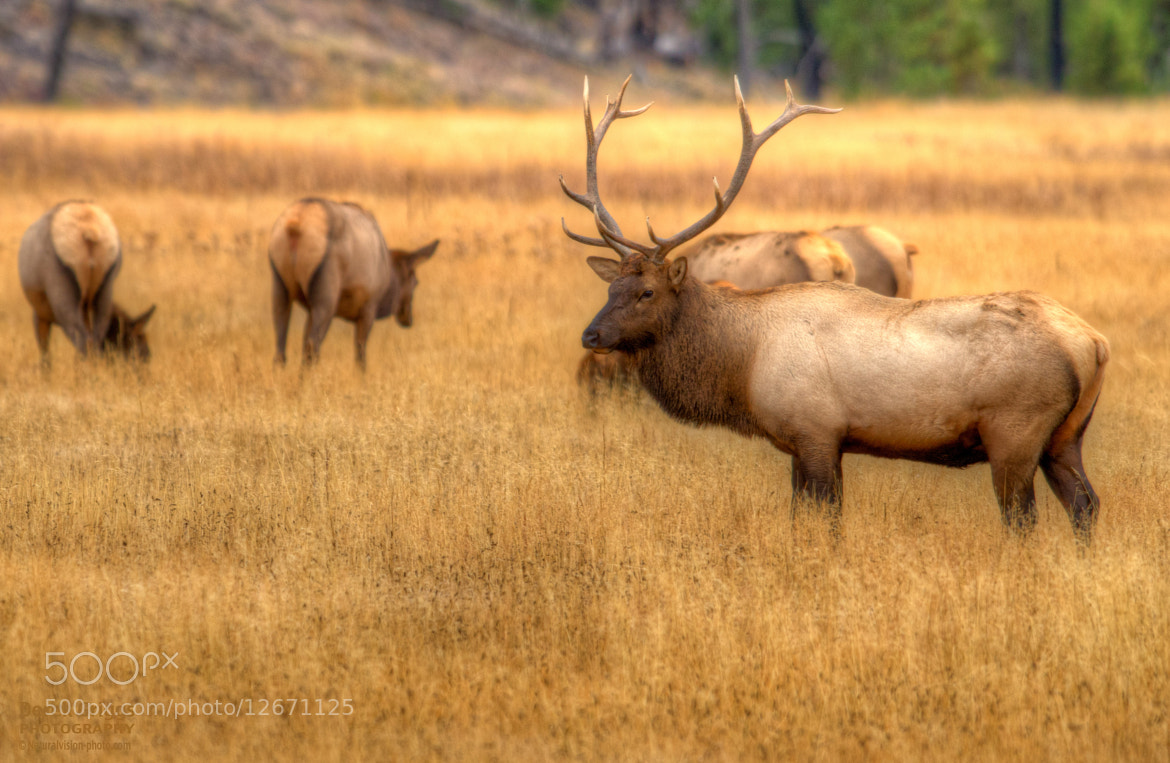 Photograph Yellowstone Bull Elk by Derek Griggs on 500px