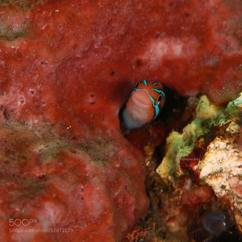Photograph Tube-worm Blenny by Kirin Goh on 500px