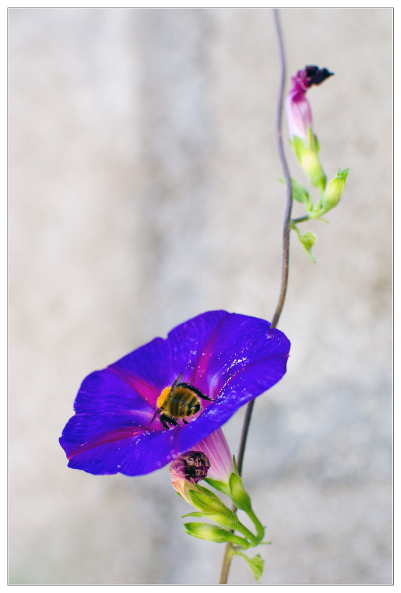 Photograph Bellflower by Max G on 500px