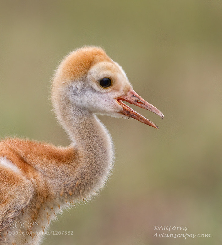 Photograph Baby Crane by Alfred Forns on 500px