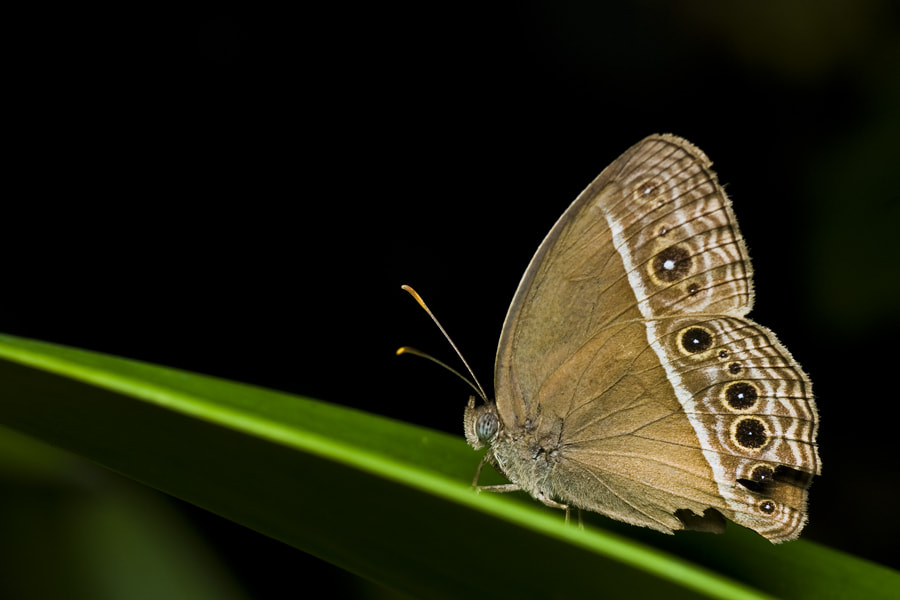 Photograph Butterfly by Johari (Paklang) Saad on 500px