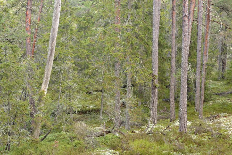 Pines / Sweden
