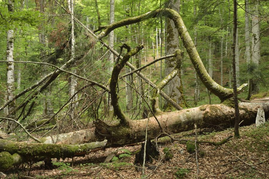 Dead wood #3 / Maramurs mountains (Romania)