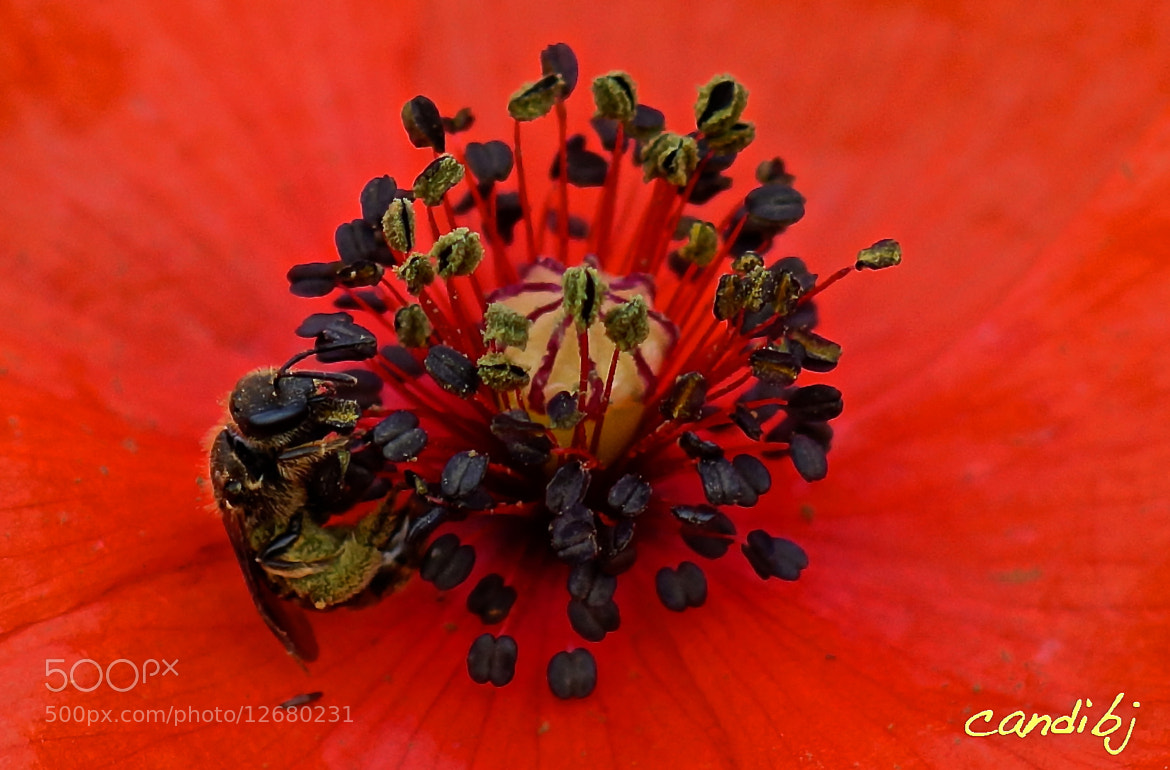 Photograph Amapola by Candido Bermudez on 500px