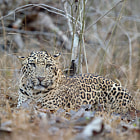 Bid, bold, confident and very majestic guy from Kabini. He is given me some awesome sightings !!