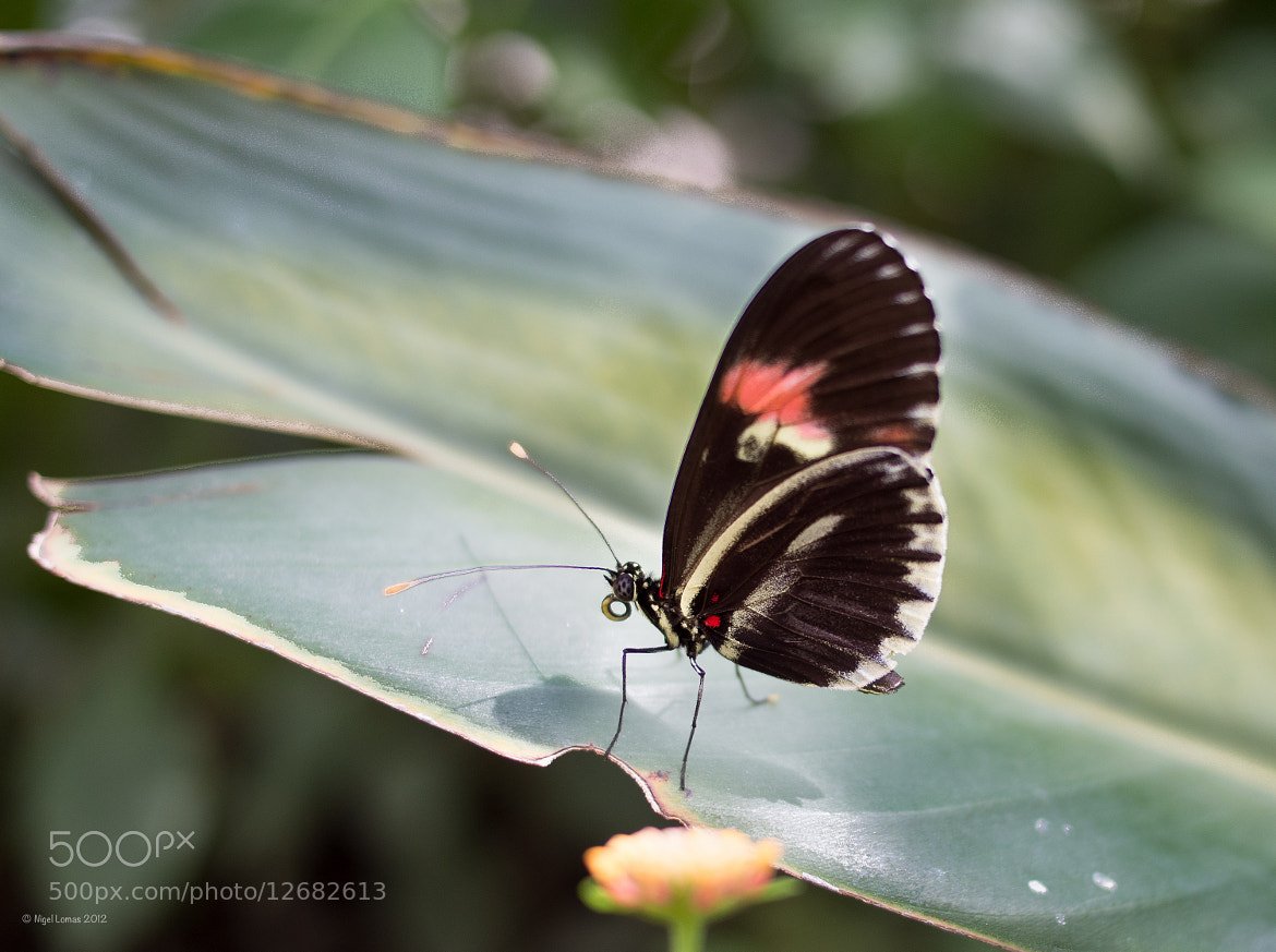 Photograph Butterfly 2 by Nigel Lomas on 500px