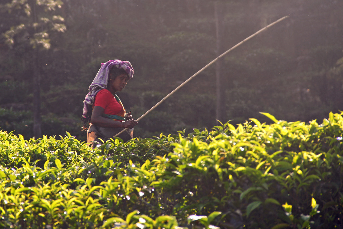 Photograph Tea picker by Gregor Štumberger on 500px