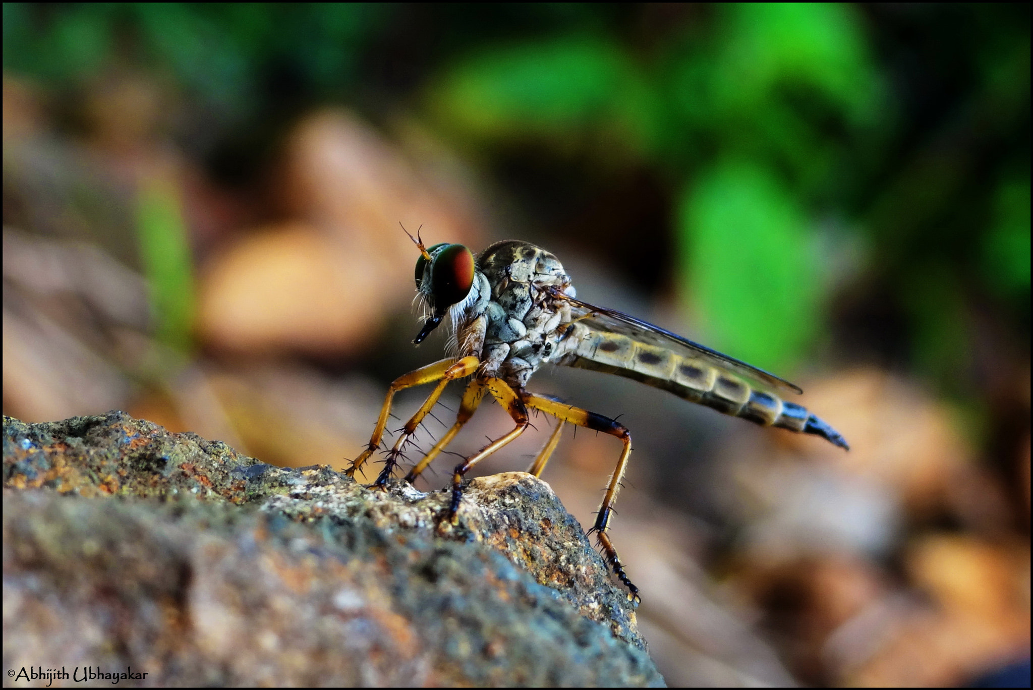 Photograph Rober fly 2  by Abhijith Ubhayakar on 500px