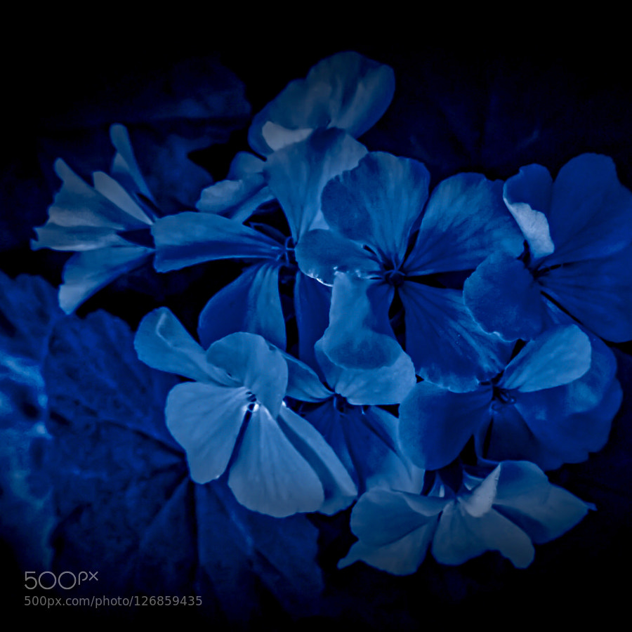 Macro Photography Flowers Blue By Idirreggai Easy Branches Network