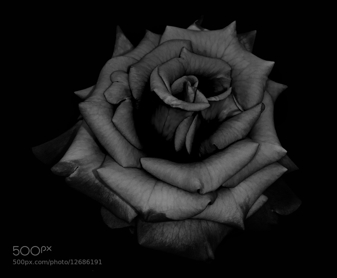 Photograph Rose by Justin Grenon on 500px