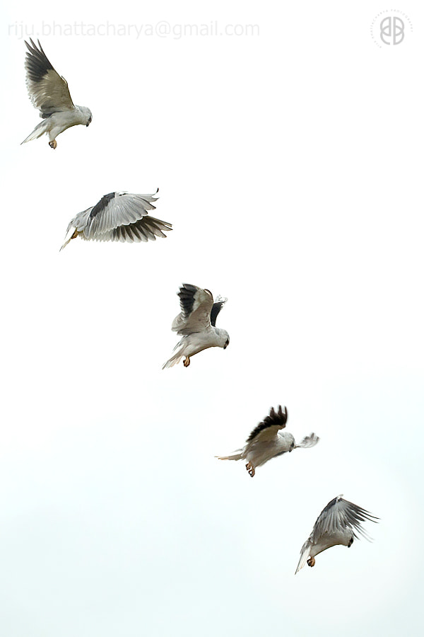 Photograph Black Shouldered Kite...the hover by Riju Bhattacharya on 500px