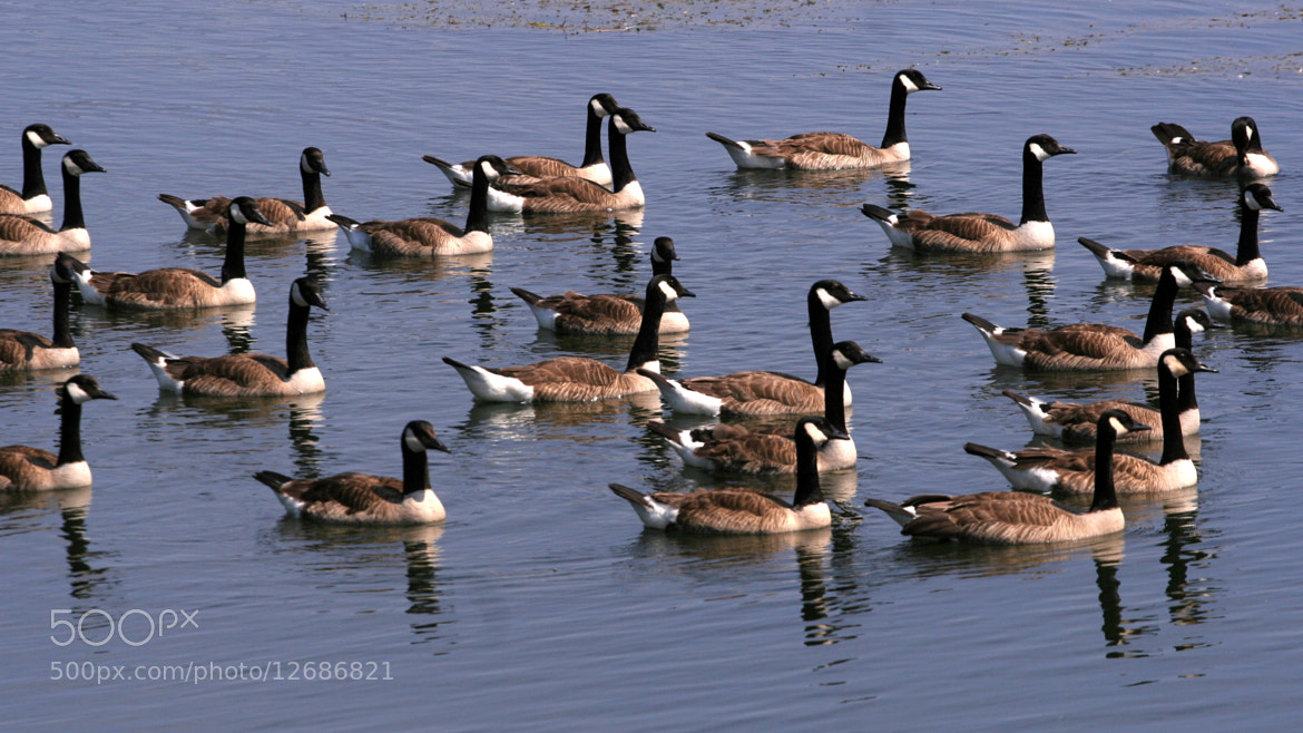Photograph Goose convention by Yves Grenier on 500px
