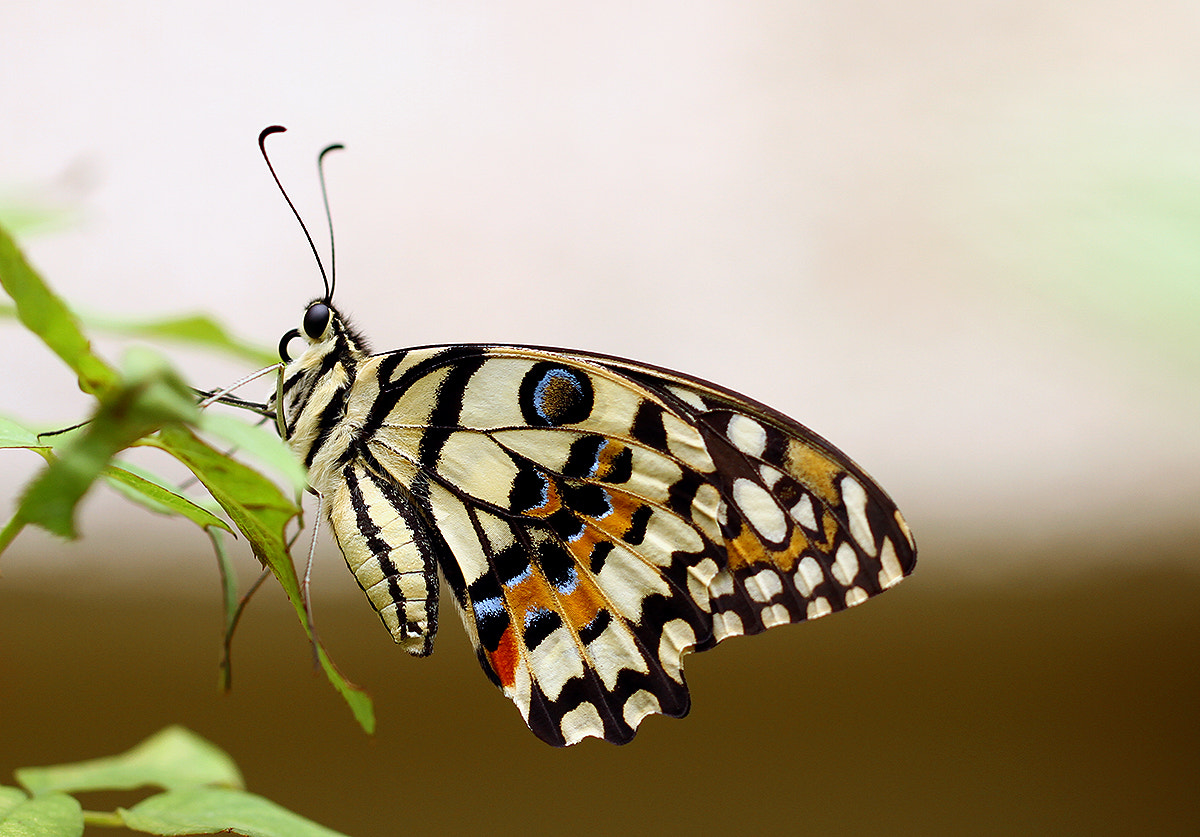 Photograph Butterfly II by Michael Savellano on 500px