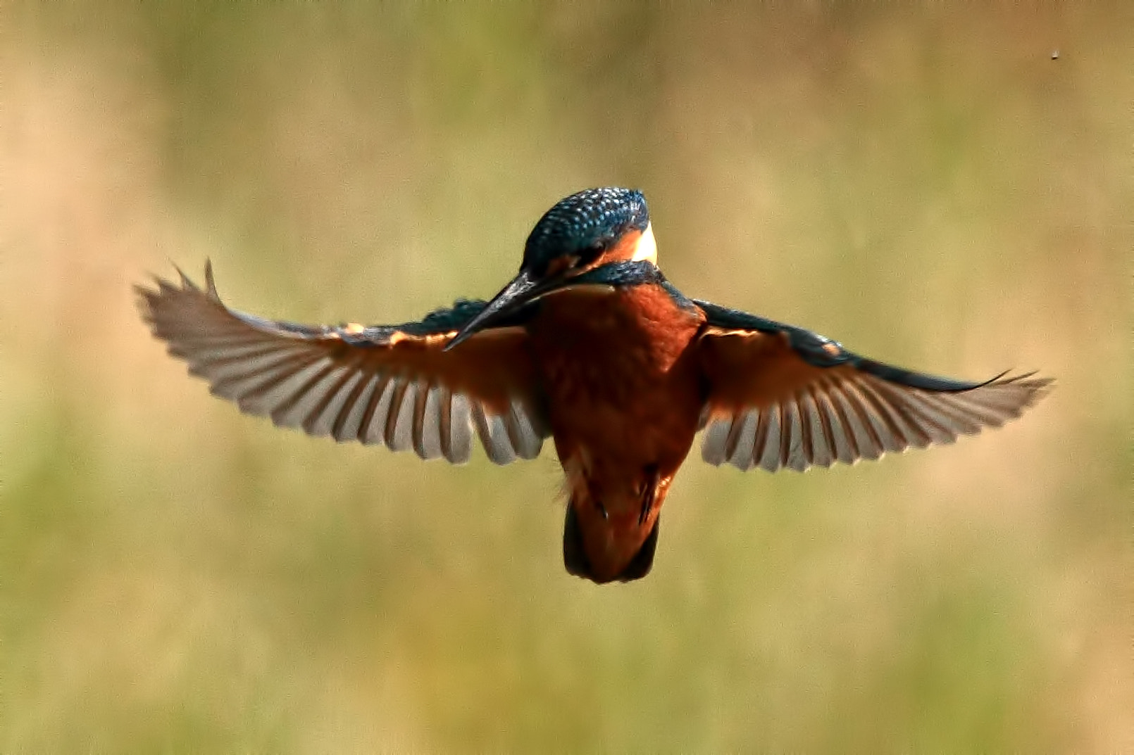 Photograph Hovering Kingfisher by Geoff Haynes on 500px