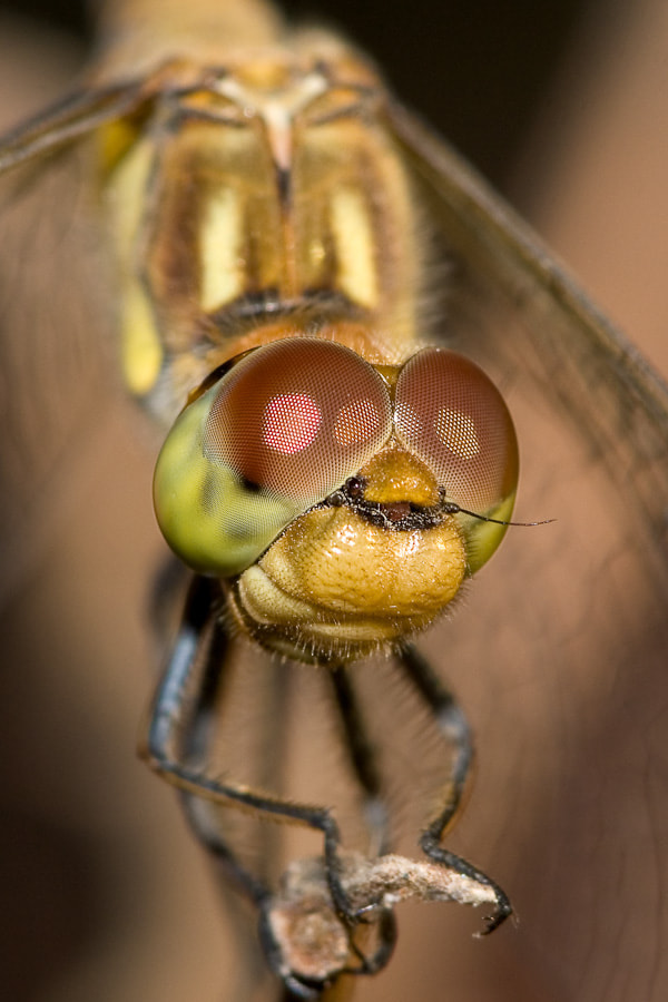 Photograph Sympetrum striolatum ♀ by Stavros Markopoulos on 500px